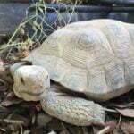 Pancha ~ the African Sulcata Tortoise